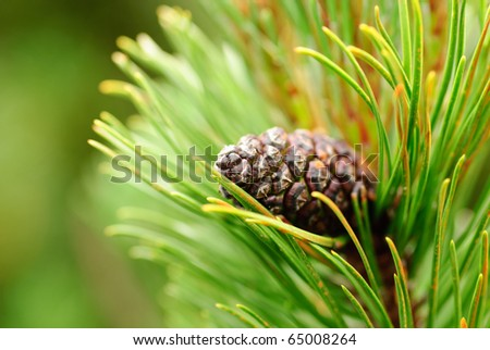 Close up cone on pine, shallow deep of field. Copy text - stock photo