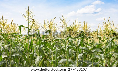 Close up corn flowering stage in field and blue sky. - stock photo