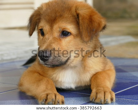 Close-Up Cute Little Fluffy Brown Puppy Dog Lying on the Floor - stock photo