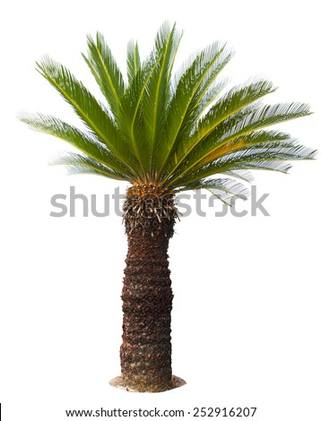 close up Cycad palm tree isolated on white background usefor garden and park decoration - stock photo