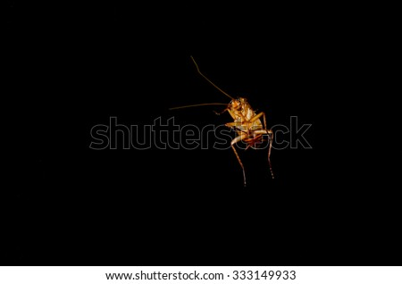 Close up dead Cockroach isolated black background.  ( Cockroaches as carriers of disease ) - stock photo