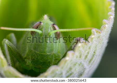 close up detail of a green grasshopper or locust hiding on a leaf - stock photo