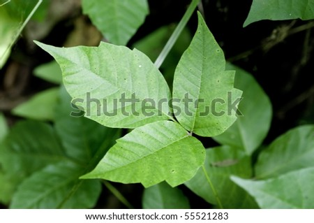 Close up detail of a Poison Ivy Plant.  Excellent high resolution image for accurate plant identification. - stock photo