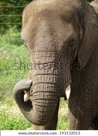 Close Up Detail of African Elephant's Head - stock photo