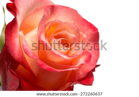 Close Up Detail of Rose Bloom with Peach and Red Colored Petals Isolated on White Background with Copy Space - stock photo