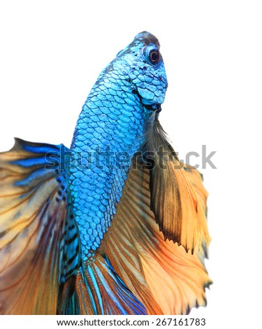 Close-up detail of Siamese fighting fish,colorful half moon  isolated on white background. - stock photo
