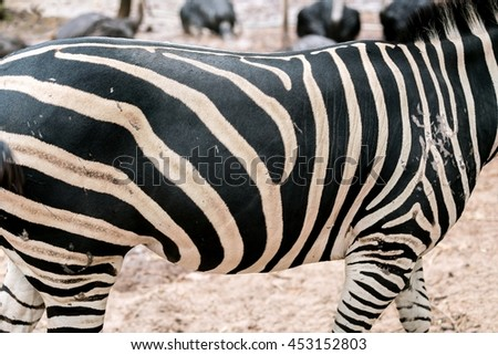Close up Detail of the african zebra texture - Plains Zebra pattern, Equus quagga      - stock photo