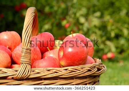 Close-up detail of wicker basket full of red apples in foreground and apple trees in background - stock photo