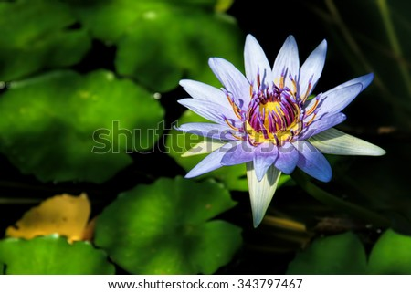 Close-up details of a beautiful water lily (Nymphaea nouchalii var. zanzibariensis)-selective focus. - stock photo