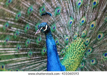 Close-up details of an Indian male peacock (Pavo cristatus), selective focus. - stock photo