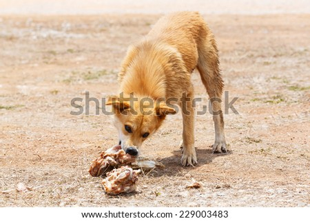 Close up dirty stray dog try to hold the bone in mouth  - stock photo