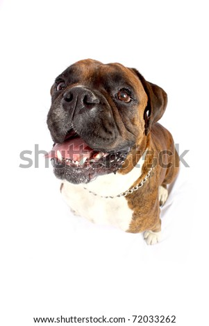 Close-up distorted facial of brown Boxer with white chest - stock photo