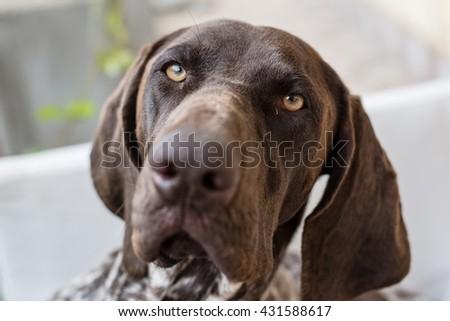 Close up dog portrait, German pointer dog posing in garden - stock photo