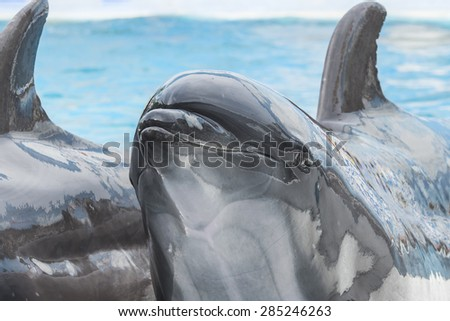 Close up dolphin head in swimming pool water - stock photo