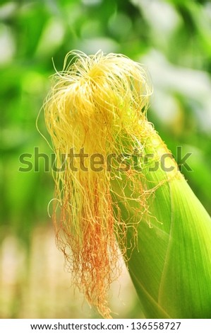 close up Ear of corn on the stalk in the field with corn silk - stock photo