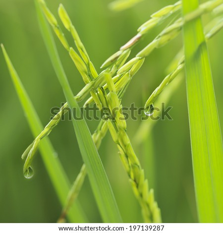 Close up ear of glutinous rice in green field. - stock photo