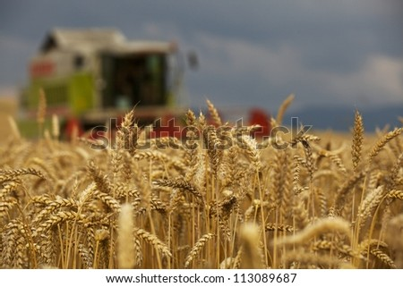 Close-up ears of wheat at field and harvesting machine on background. Combine out of focus. - stock photo
