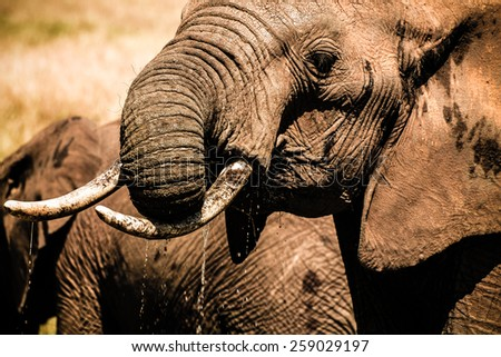 Close up Elephant Tusker Drinking Water with Trunk - stock photo