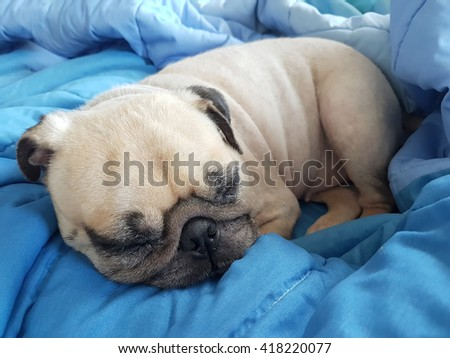 Close up face of cute pug puppy dog asleep rest on soft bed  - stock photo