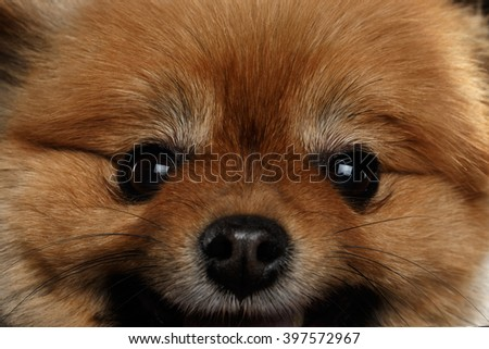 Close up Face of Cute Red Pomeranian Spitz Puppy isolated on Black Background - stock photo