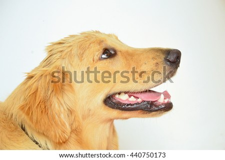 close up face of Golden Retriever dog with a happy expression on face - stock photo