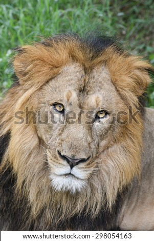 Close-up face of mighty male Lion lying down staring intensely, Panthera leo. Adventure safari trip through dense forest path with wild animals. Karnataka India national park - stock photo