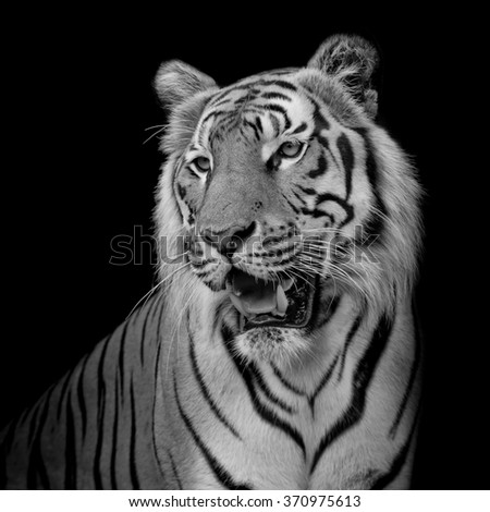 close up face tiger isolated on black background - stock photo