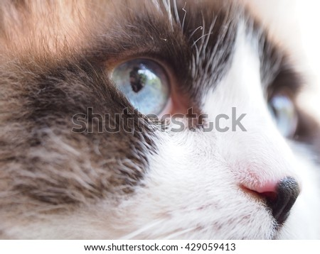 Close up Facial Macro of Bi Color Brown White Ragdoll Cat with Blue Eyes and Black Button Nose - stock photo