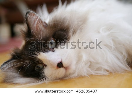 Close up Facial Portrait of Regal Long Haired Bi Color Brown White Ragdoll Cat with Blue Eyes and Black Button Nose Laying on Floor Looking into Camera - stock photo