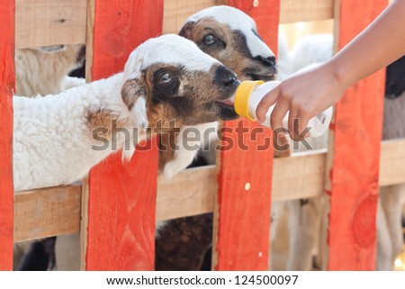 Close-up feeding baby goat with baby bottle in a farm - stock photo