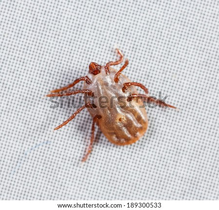 Close up female rhipicephalus sanguineus on recycle paper background - stock photo