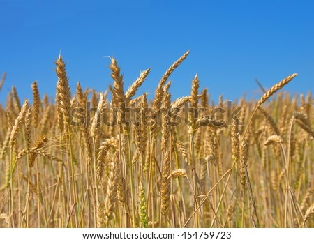 Close-up field of yellow wheat. Idea of a rich harvest. Golden wheat ears on field under blue sky. Backdrop of ripening ears of yellow wheat field. - stock photo