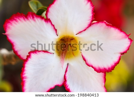 Close up flowers, azalea red colors beautiful. - stock photo