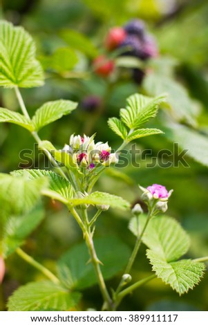 Close-up flowers black raspberry bunch of berries ripening on sunny days - stock photo