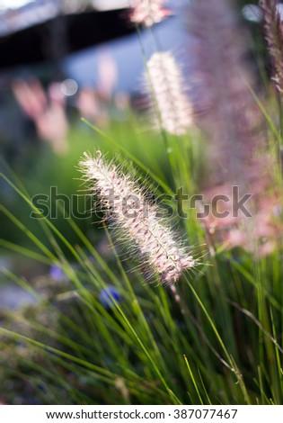 Close up fountain grass - stock photo