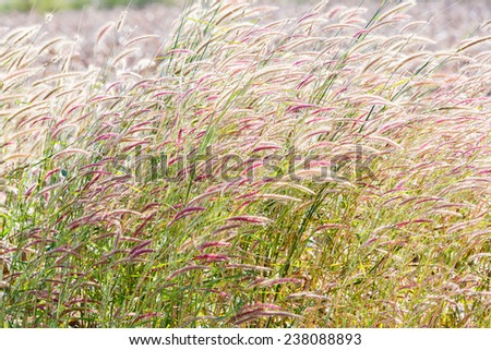 Close up fountain grass against sunlight in field - stock photo