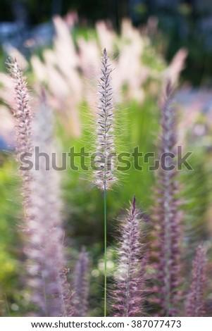 Close up fountain grass in vintage garden - stock photo
