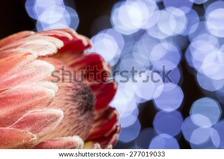 Close up Fresh Attractive Piant Protea Flower on Top of the Table - stock photo
