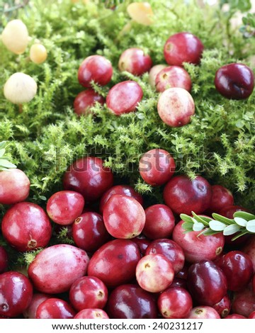Close up fresh red cranberries on moss - stock photo