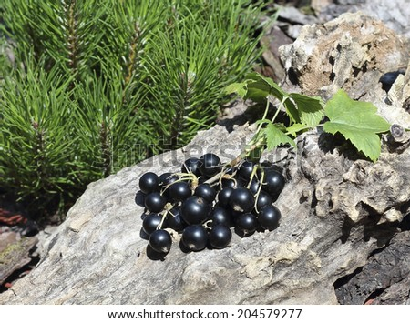 Close up fresh ripe blackcurrant on surrounded by bright green leaves - stock photo