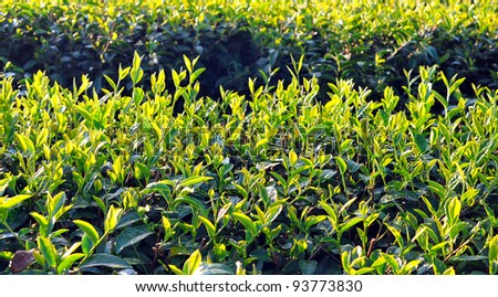 Close up fresh tea leaves in morning sunlight. - stock photo