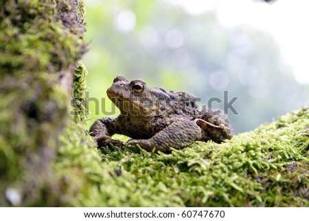 Close-up frog toad (Bufo bufo) - stock photo