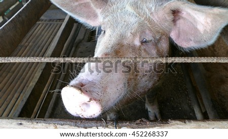 Close up from a pig in a stable at a farm in the Philippines - stock photo