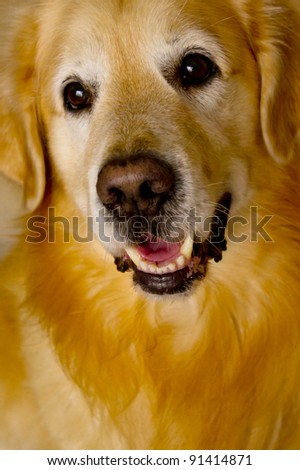 close up front view of a smiling Golden Retriever - stock photo