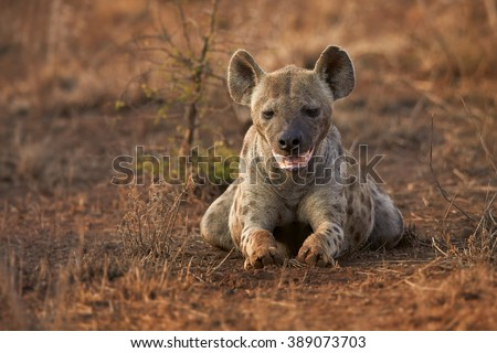 Close up front view of  Spotted hyena, Crocuta crocuta lying on the ground  with mouth ajar  in Kruger National Park, South Africa. - stock photo