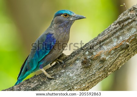 Close up full body of Indian roller(Coracias benghalensis) on the wood in nature of Thailand - stock photo