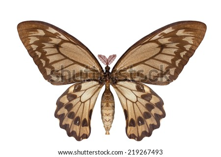 close up giant moth attacus atlas a butterfly with open wings in a top view as a only coming out at night isolated on white background with clipping path - stock photo