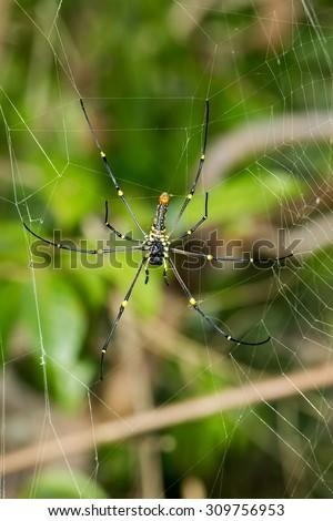 Close up Giant spider on the web (Nephila pilipes), Bali, Nusa Penida, Indonesia wildlife - stock photo
