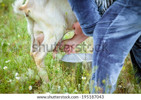Close up goat milking in farm - stock photo
