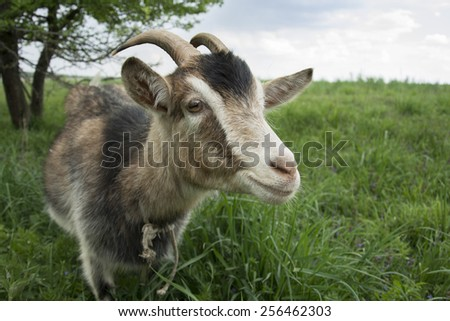 Close up. Goat on pasture near a bush. - stock photo